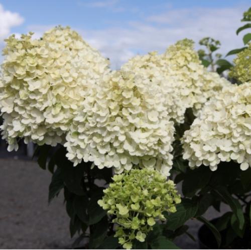 Cheap Hydrangea Paniculata Bobo Shrubs Online Hydrangeas