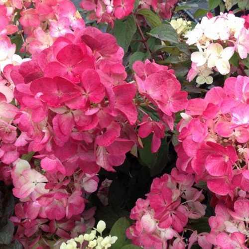 Cheap Hydrangea Paniculata Diamant Rouge Shrubs Online