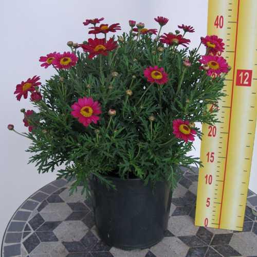 Marguerite Daisy Argyranthemum  Dark Pink