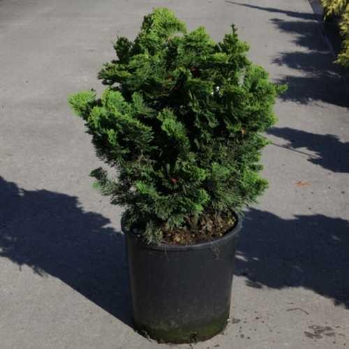 Chamaecyparis o. 'Nana Gracilis' 40-50cm 12Ltr