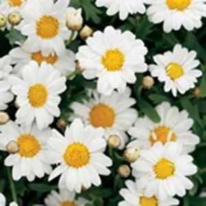 Marguerite Daisy Argyranthemum White