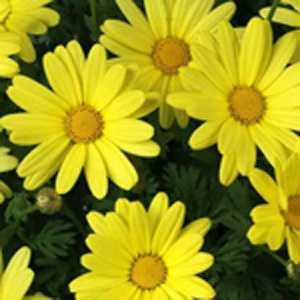 Marguerite Daisy Argyranthemum Yellow