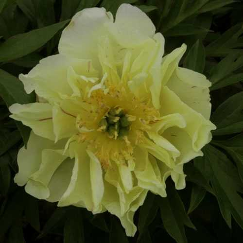 Peony (Paeonia) ITOH Intersectional Yellow Waterlily 3.5ltr