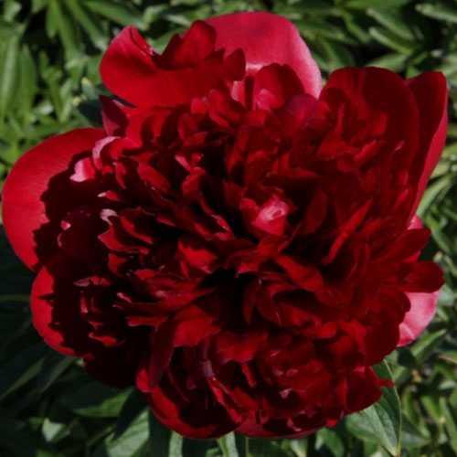 Peony (Paeonia) Lactiflora Red Dream