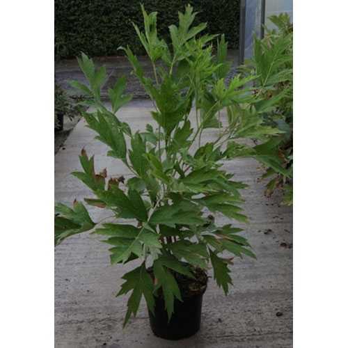 Peony (Paeonia) Lutea Tree Peony 10ltr