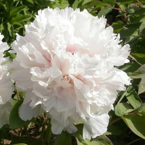 Peony (Paeonia) Suffruticosa Chinese Tree Peony Jing Yu 6 Litre Pot