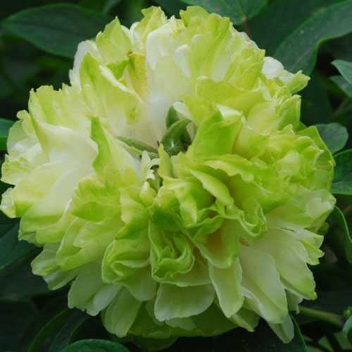 Peony (Paeonia) Suffruticosa Chinese Tree Peony Lu Mu Ying Yu 6 Litre Pot