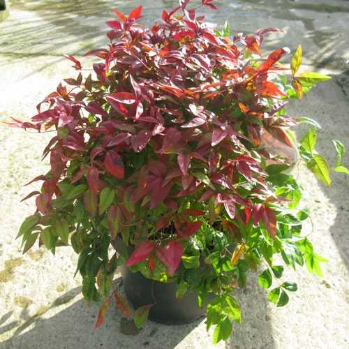 Cheap Nandina Domestica Fire Power Red Leaved Shrubs In