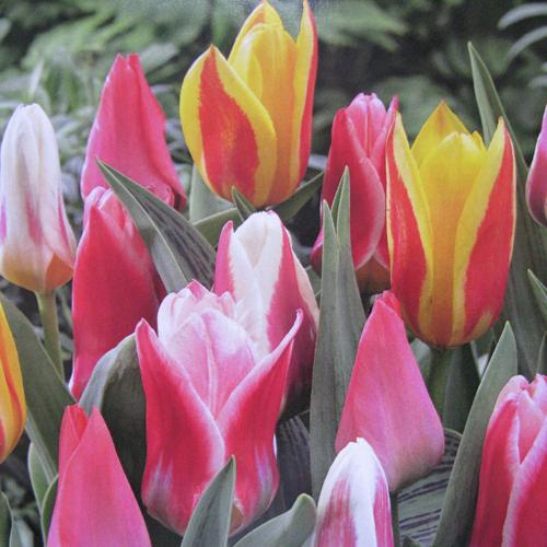 Tulip Bulbs Greigii Rockery Mixed 50 Per Pack