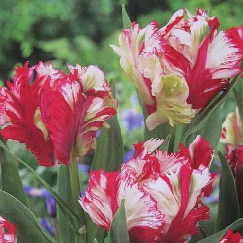 Tulip Bulbs Parrot Estella Rijnveld 10 per pack