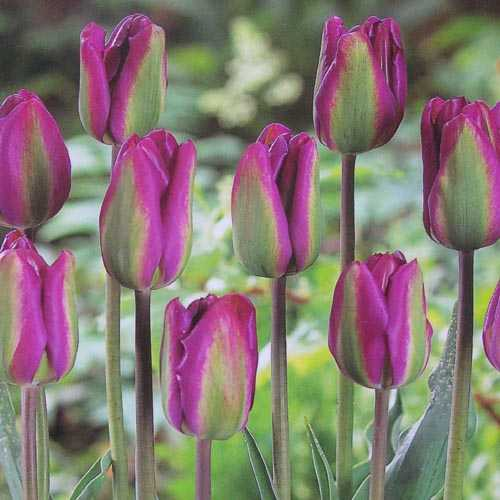 Tulip Bulbs Viridiflora Night Rider 10 per pack