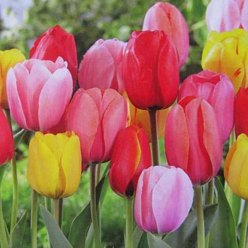 Tulip Bulbs Darwin Hybrid Jumbo Mixed 40 per pack