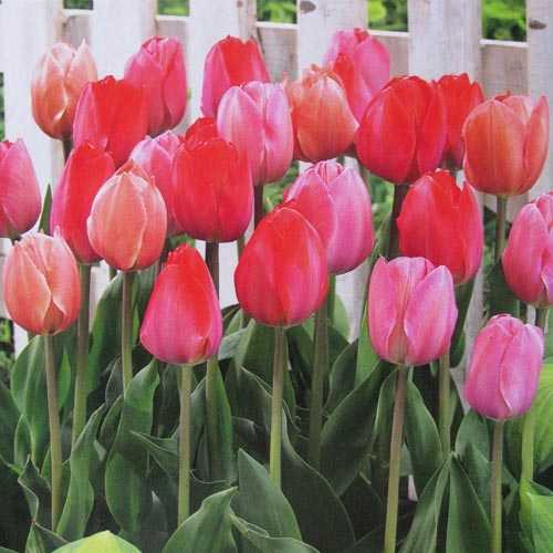 Tulip Bulbs Darwin Hybrid Van Eijk Mixed 25 per pack