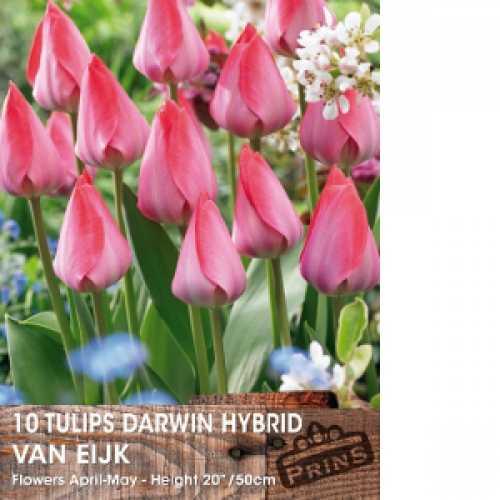 Tulip Bulbs Darwin Hybrid Van Eijk Mixed 25 per pack