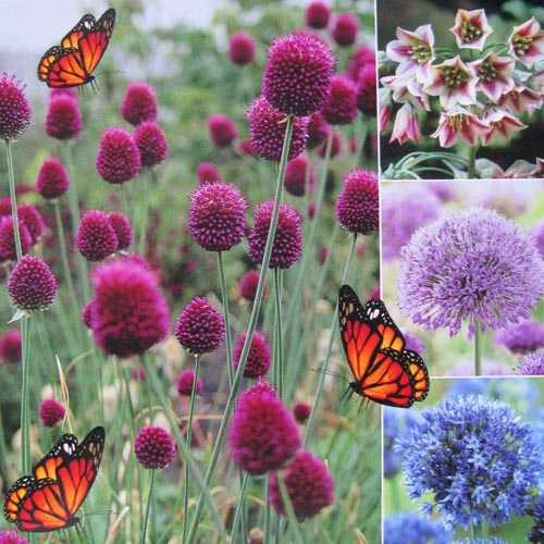 Allium and Nectaroscordum Bulbs Happy Butterfly Collection 50 per pack