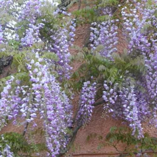 Wisteria Formosa Issai (Japanese Wisteria) Syn. Domino 5ltr