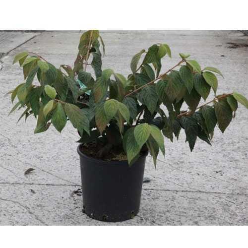 Viburnum Plicatum Mariesii (Japanese Snowball Bush)