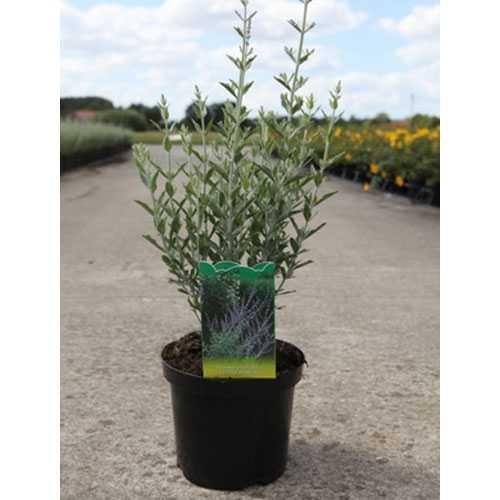 Perovskia Atriplicifolia Little Spire 3.5ltr