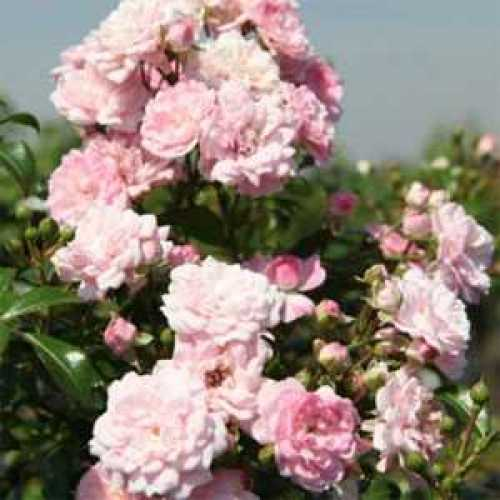 Rose Shrub The Fairy 3.6ltr