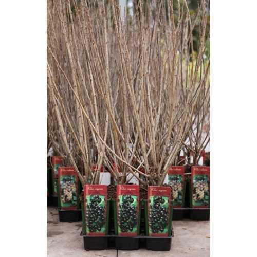 Ribes Nigrum Titania (Blackcurrant) 3ltr