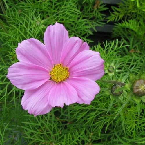 Cosmos Sonata (Light Pink)