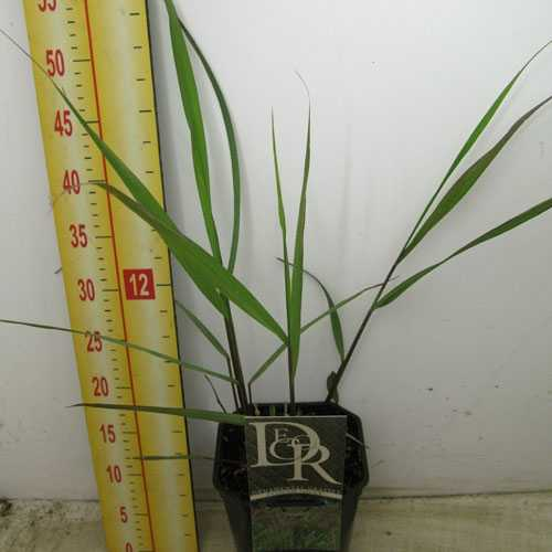 Panicum Virgatum Squaw Ornamental Grass 2ltr