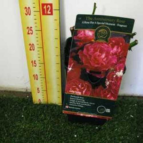 Rose Bush The Anniversary Floribunda Rose 3.5ltr