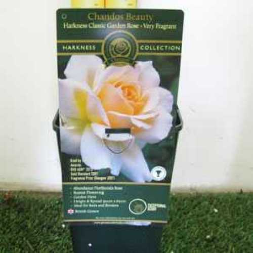 Rose Bush Chandos Beauty Floribunda RHS AGM 3.5ltr