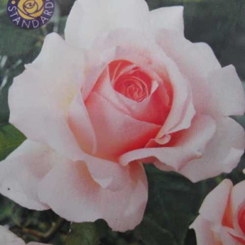 Chandos Beauty Hybrid Tea Rose