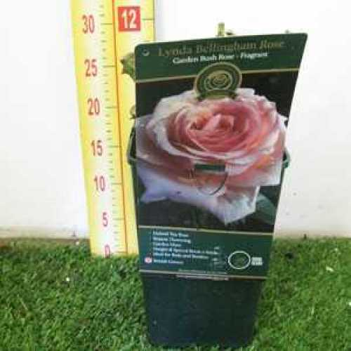 Rose Bush Hybrid Tea Lynda Bellingham 3.5ltr