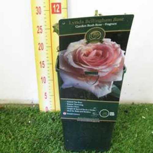 Rose Bush Hybrid Tea Lynda Bellingham 3.5ltr