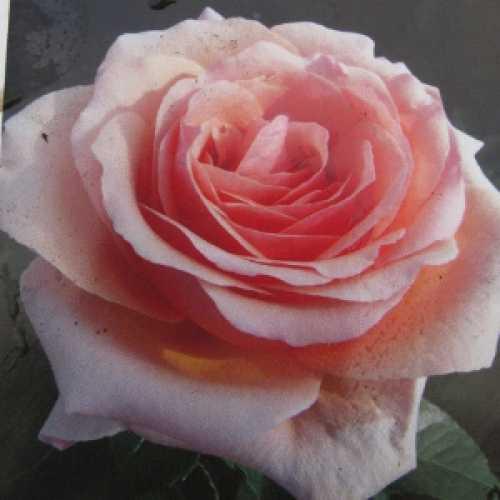 Lynda Bellingham Hybrid Tea Rose