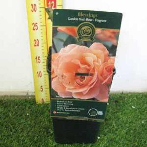 Rose Bush Hybrid Tea Blessings Fragrant 3.5ltr