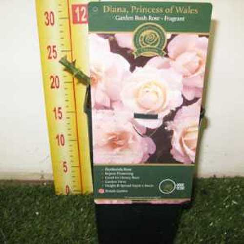 Rose Bush Diana, Princess Of Wales Floribunda Fragrant 3.5ltr