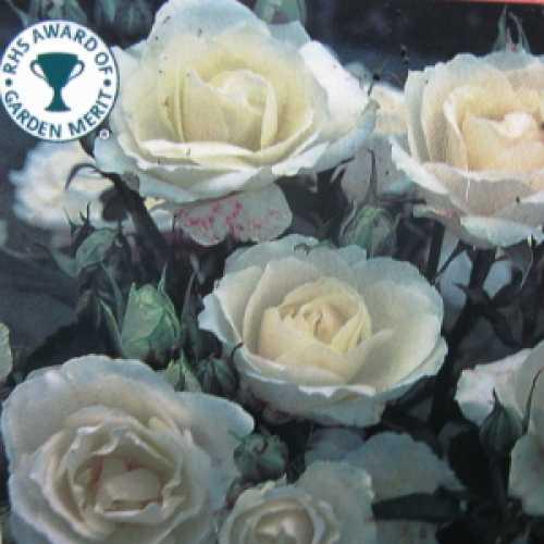 Princess Of Wales Floribunda Rose
