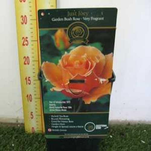 Rose Bush Hybrid Tea Just Joey Very Fragrant 3.5ltr