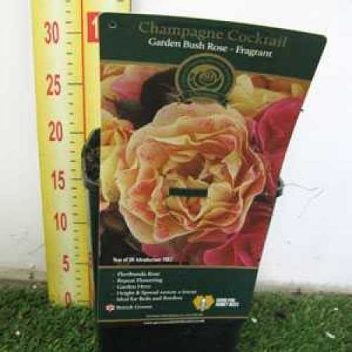 Rose Bush Champagne Cocktail Floribunda Fragrant 3.5ltr