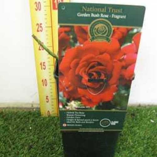 Rose Bush Hybrid Tea National Trust Fragrant 3.5ltr