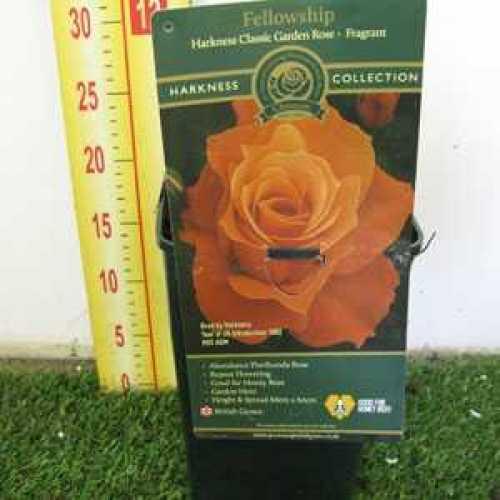 Rose Bush Fellowship Floribundas RHS Award of Garden Merit