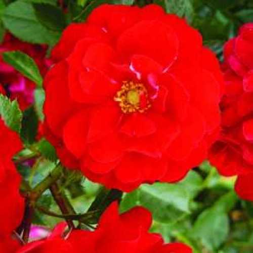 Rose Bush Red Abundance Floribunda Fragrant 3.5ltr