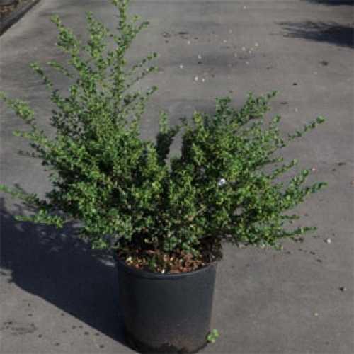 Cheap Ilex Crenatata Convexa Hedging Plants Online Buy