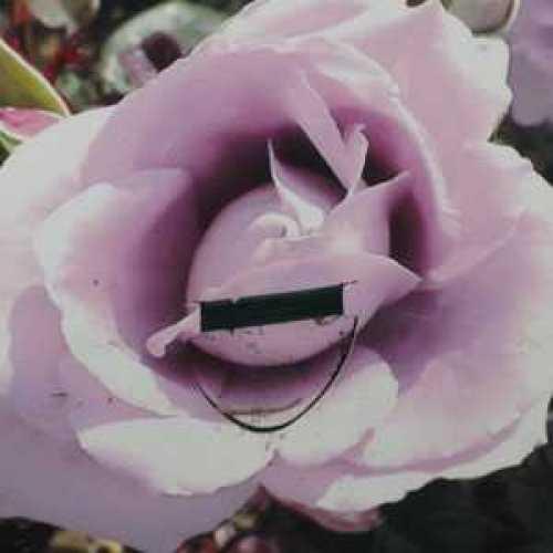 Rose Bush Hybrid Tea Peter Ayliffe Very Fragrant 3.5ltr