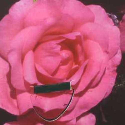 Rose Bush Special Mum Floribunda Very Fragrant 3.5ltr