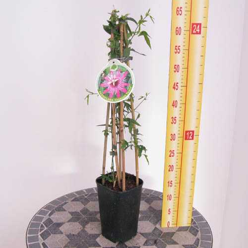 Passiflora 'Crimson Tears' Passion Flower