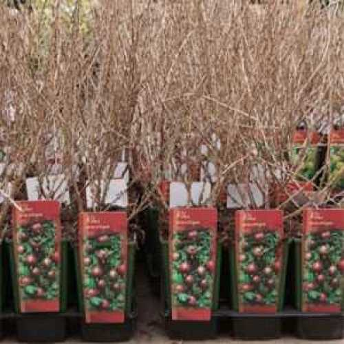 Ribes Gooseberry Uva Crispa Hinnomaki Red 3ltr