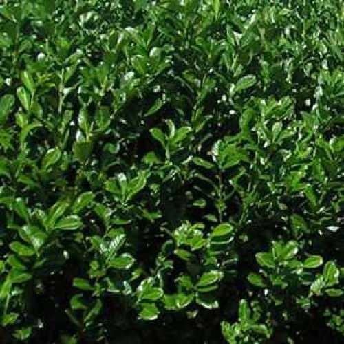 Laurel Hedging (Common or Cherry Laurel) Prunus Laur. Rotundifolia
