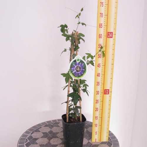 Passiflora 'Purple Rain' Passion Flower
