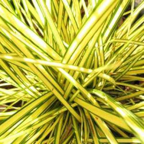 Carex Brunnea Camara 3ltr