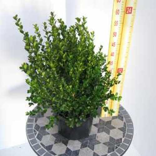Box Hedging (Buxus Sempervirens) Topiary 20-25cm 1ltr Pot - 120 Plants