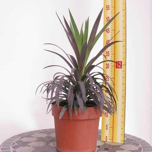 Yucca Aloifolia (Spanish Bayonet) 2 Ltr